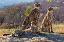 Cheetahs at a game reserve in South Africa  photo by Robert Bolton