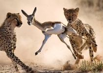Cheetahs chasing a Springbok  Photo by Bridgena Barnard