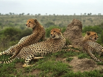 Cheetahs rest from their hunting exertions and survey the surrounding plains in South Africas Sabi Sand Reserve by Chris Martin