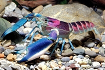 Cherax pulcher a crayfish that looks like outer space