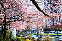 Cherry Blossoms in Bloom in Vancouver British Columbia