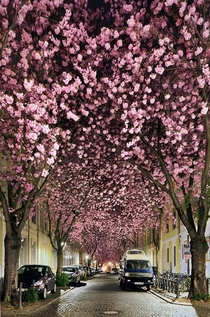 Cherry Blossoms in Bonn Germany