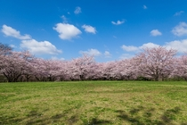 Cherry Blossoms in Chiba Japan