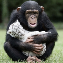 chimp and white tiger cubs