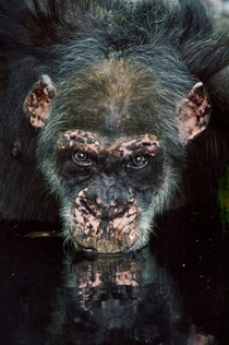 Chimpanzee - Pan troglodytes -  photo by Frans Lanting