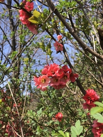 Chinese Quince escaped and wild in North America