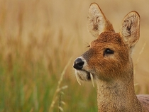 Chinese water deer with tusks