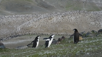 Chinstrap Penguin colony Pygoscelis antarcticus at Baily Head Deception Island