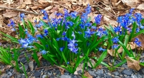 Chionodoxa Glory-of-the-Snow Glasco NY