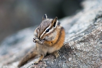 Chipmunk eating at the Upper Lake Joffre BC Canada