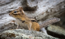 Chipmunk striking a pose before scampering away