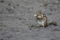 Chipmunk Trying to fit a nut in