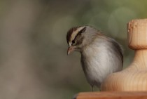 Chipping Sparrow Spizella Passerina on a wooden feeder