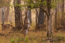 Chital Deer also known as a Spotted or Axis Deer Axis Axis in Nargarhole India