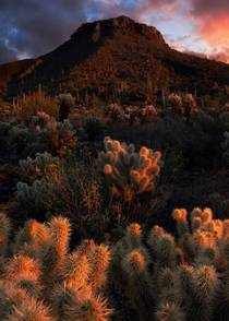 Cholla are warm and inviting until they turn into a bunch of pricks Saguaro National Park AZ  IGandrewsantiago_