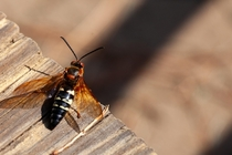 Cicada Killer Giant Wasp