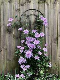 Clematis growing in Columbus OH