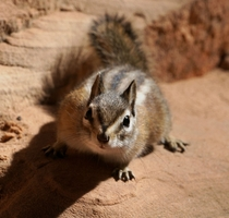 Cliff Chipmunk Tamias dorsalis seen in Zion National Park