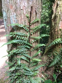 Climbing fern Blechnum filiforme ascends the trunk of a young Podocarpus totara Bay of Islands New Zealand When the ferns rhizomes reach a tree trunk they climb up and the fronds can eventually cover the tree