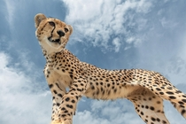 Close encounter with a sub-adult male cheetah Acinonyx jubatus  photo by Marc MOL