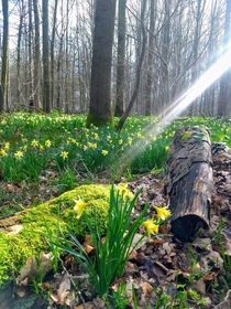 Close to Hallerbos - but a carpet of daffodils not bluebells Bois de lHpital Belgium x