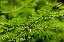 Close-up of a fir tree