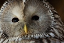 Close-up of an owl Strigiformes