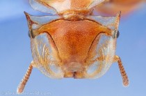 Close up of the Head of the Golden Turtle Ant