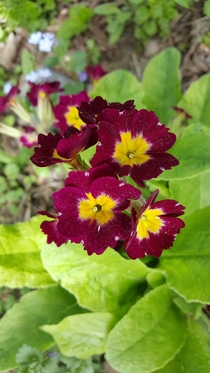 Closeup of Primula Vulgaris red primroses