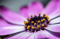 Closeup of the center of an Osteospermum