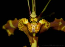 Closeup on Butterfly Orchid Psychopsis Mendenhall