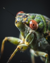 Closeup photo of a cicada
