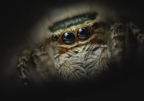 Closeup portrait of a Carrhotus jumping spider