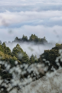 Clouds Forming Islands of Trees on Mount Tamalpais California