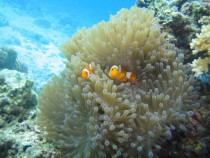 Clownfish Amphiprioninae in anemone