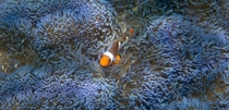 Clownfish in a blue anemone off the coast of Borneo