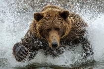 Coastal Alaskan Brown Bear charges through the water while hunting salmon in Lake Clark National Park and Preserve