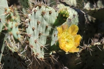 Coastal prickly pear Opuntia littoralis
