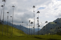 Cocora Valley Colombia home to the tallest palm trees in the world  Photographer Ben Sherman