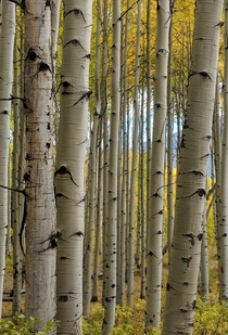 Colorado aspen grove Rt  outside of Crested Butte  OC