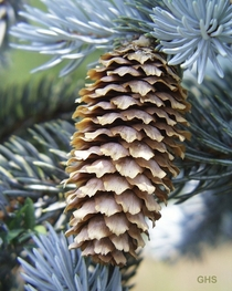 Colorado Blue Spruce Cone Picea pungens credit to US Fish and Wildlife Service