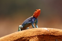 Colorful Agama Lizard in Kenya