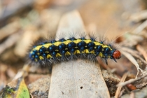 colorful caterpillar crawling across the trail