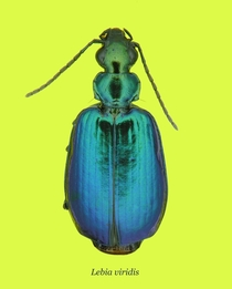 Colorful Foliage Ground Beetle Lebia viridis