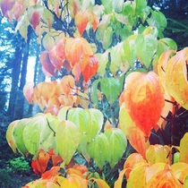 Colorful leaves in driveway Shelton WA