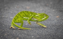 Colour-changing camouflage and -degree vision - the amazing flap-necked chameleon taken in Kruger National Park