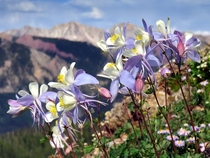 Columbine Wildflowers in the Rocky Mountains