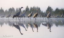 Common cranes Grus grus in Finland Photo by Jouni Suikkanen