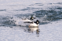 Common Goldeneye drakes battle it out for the affections of the girls
