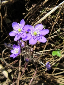 Common Hepatica Anemone hepatica in Southern Finland
